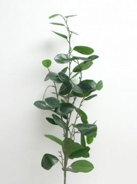 Vetva eukaliptus